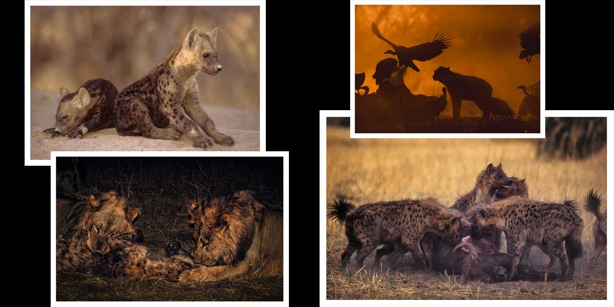 Blog post article spotted hyena