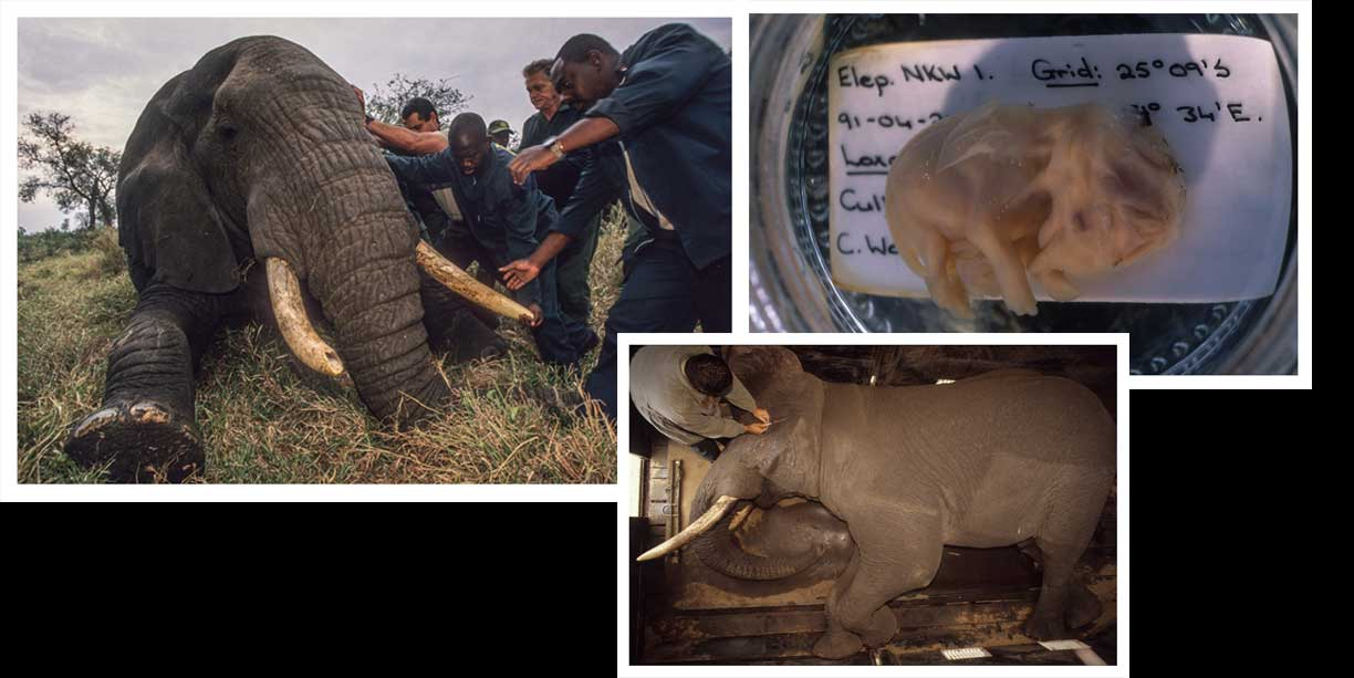blog post on elephant conservation issues, populations, birth control and culling width=