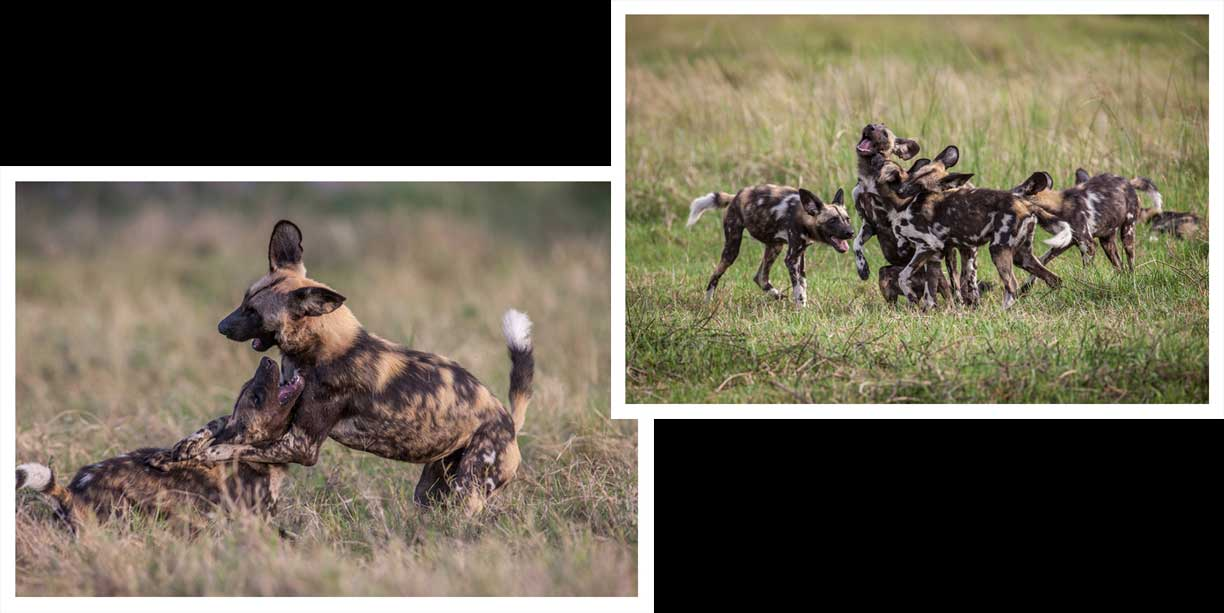 African Wild dogs playing
