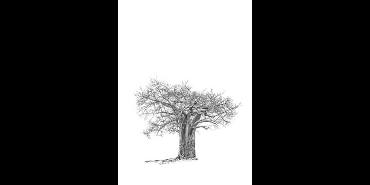 black and white baobab photographic image