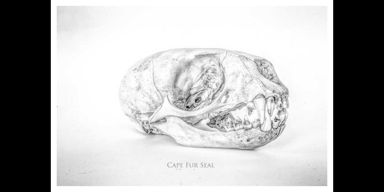 A skull of a Cape Fur Seal