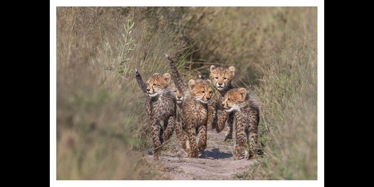 Cheetah cubs at Chitabe camp