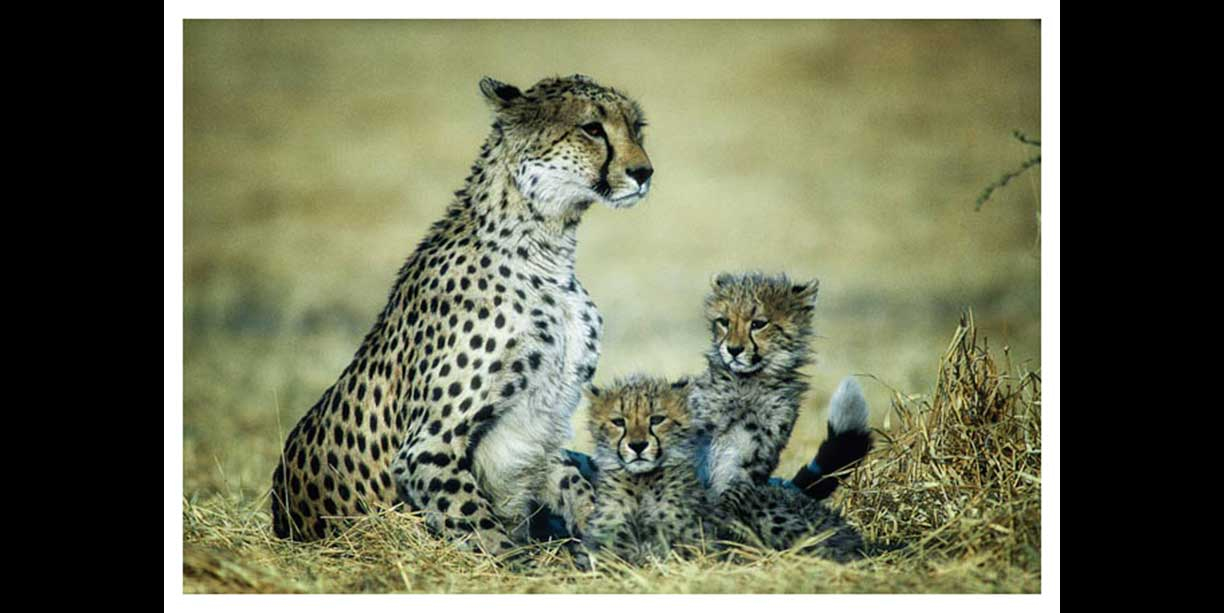 Cheetah with small cubs