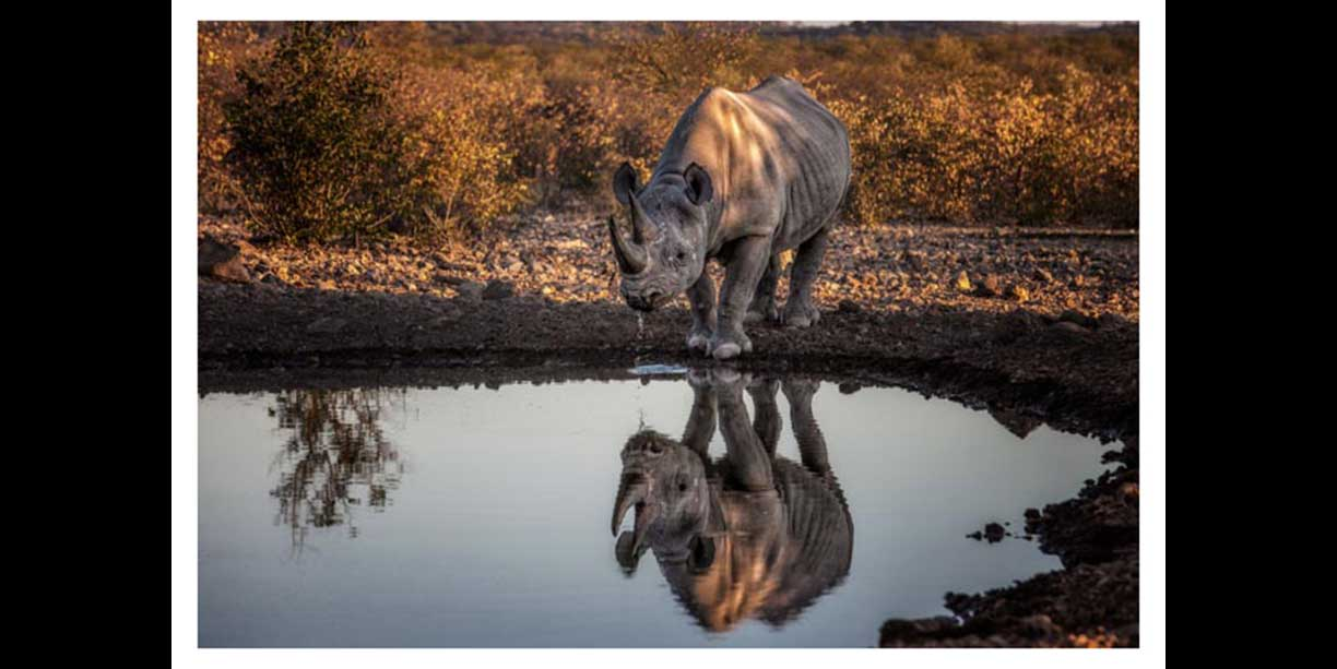 An endangered Desert Adapted Black rhino's reflection