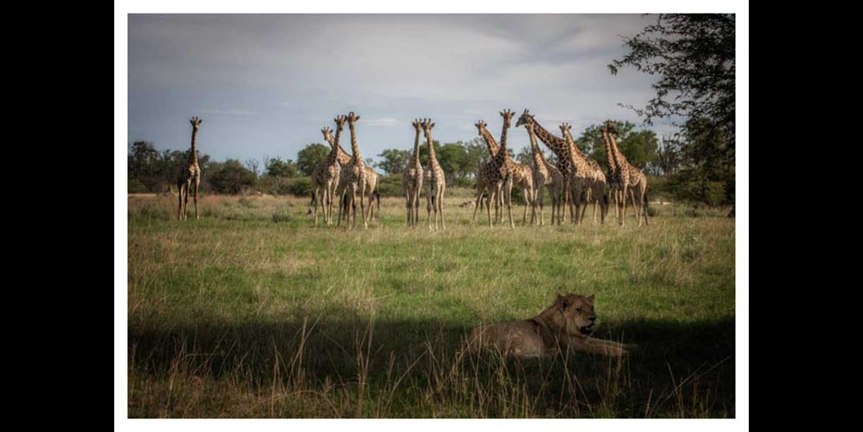 Giraffe herd watching a lion