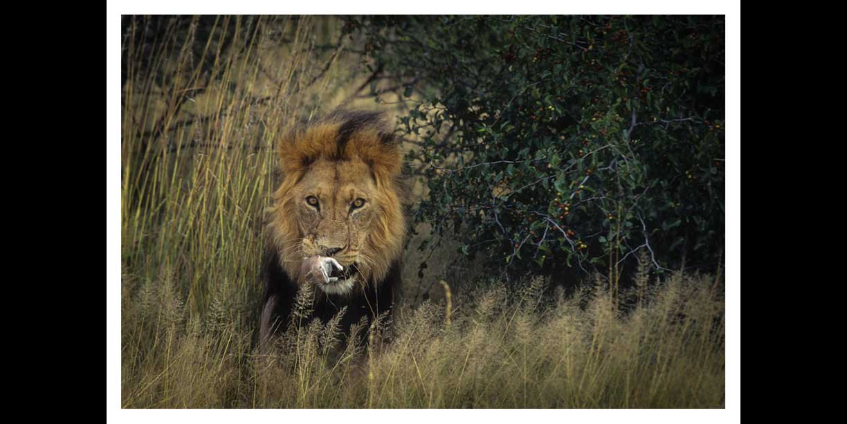 Kalahari lion and ground squirrel