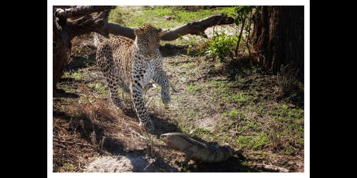 wildlife image of Leopard and a monitor as they face off