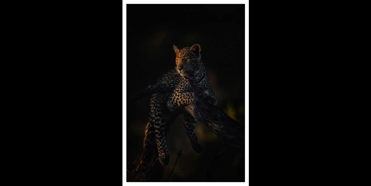 Leopard spotlighted by last rays of sun