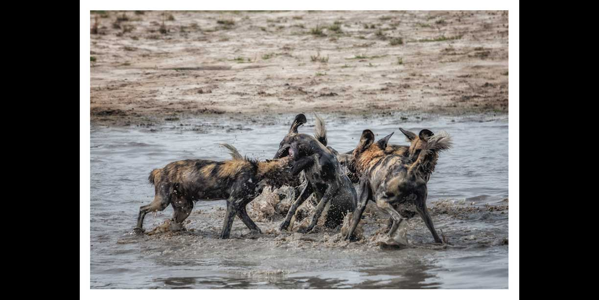 Wild dogs playing in water
