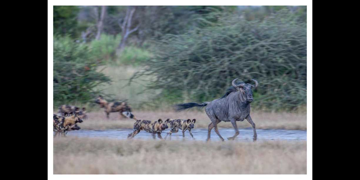 Wild dogs playing with wildebeest
