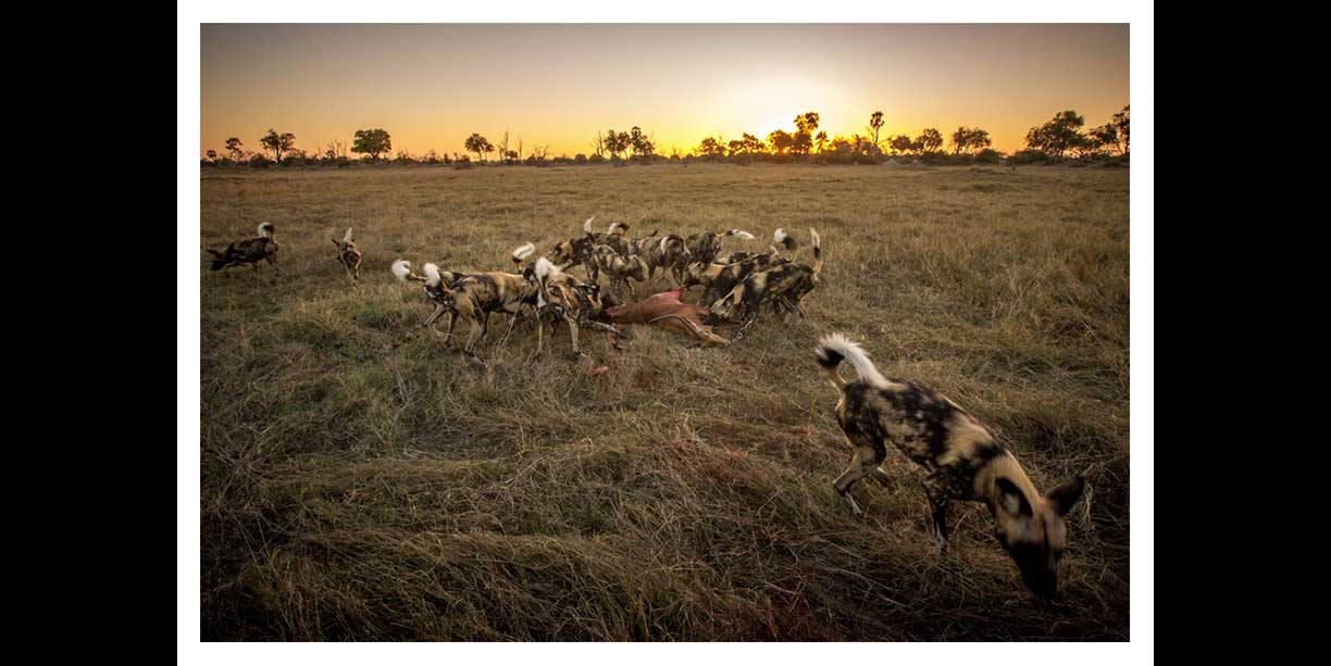 Wild dogs on a kill at sunset