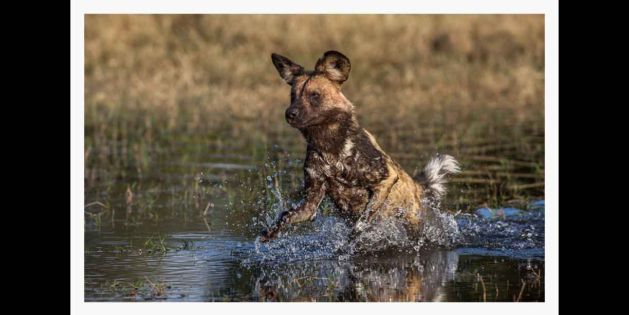 African Wild dog hunting through water