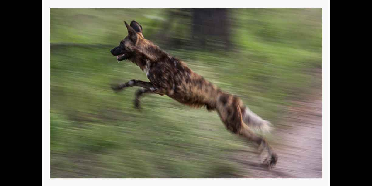 high_action_image_of_an_african_wild_dog_or_painted_dog_leaping_in_pursuit_of_prey