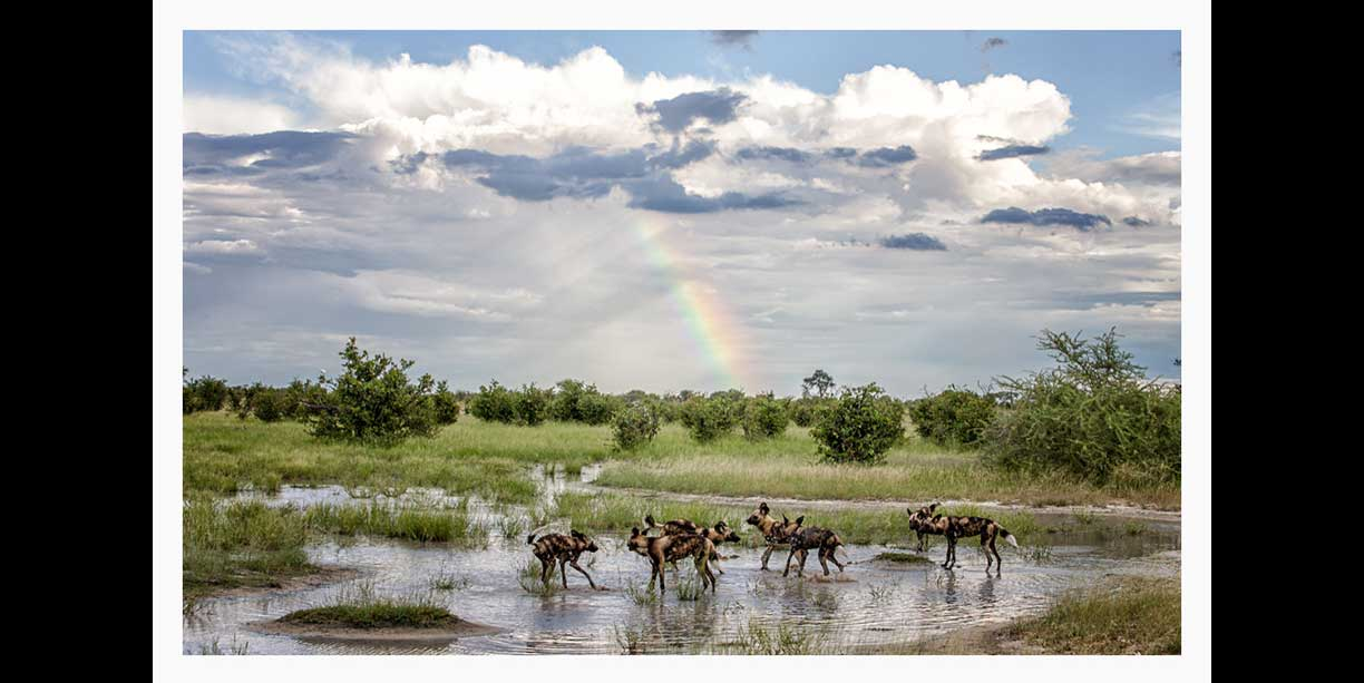 African Wild dogs with rainbow