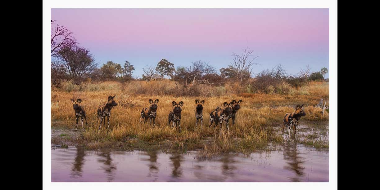 African Wild dogs before sunrise