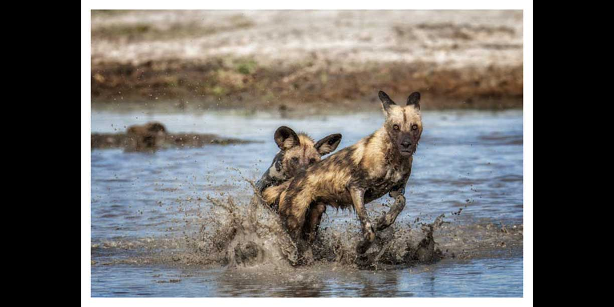African Wild dogs playing in water