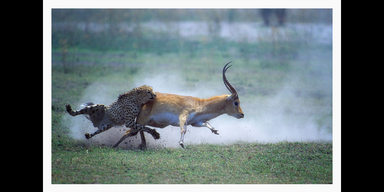high action wildlife image of a cheetah hunting a lechwe