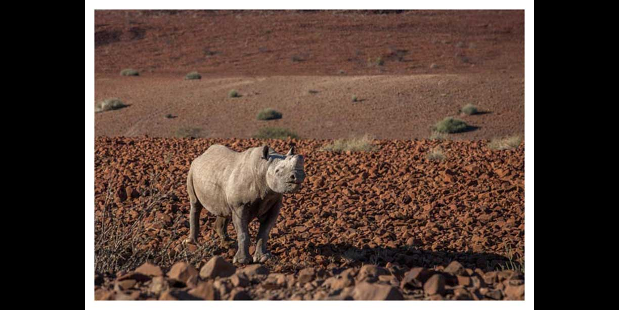 Desert rhino on a barren basalt lanscape