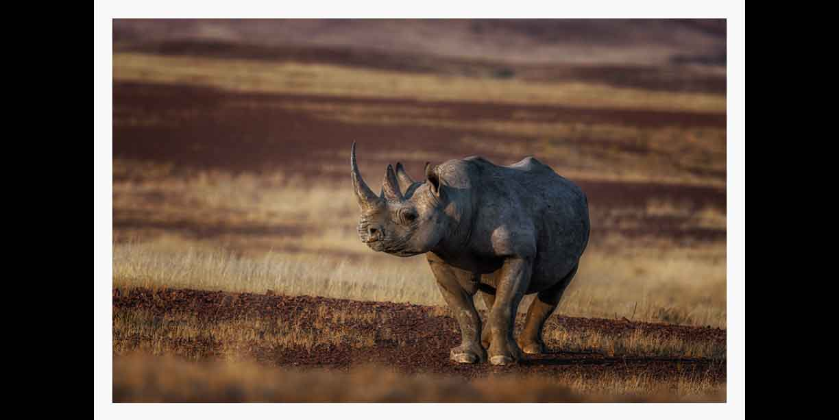 Desert adapted black rhino