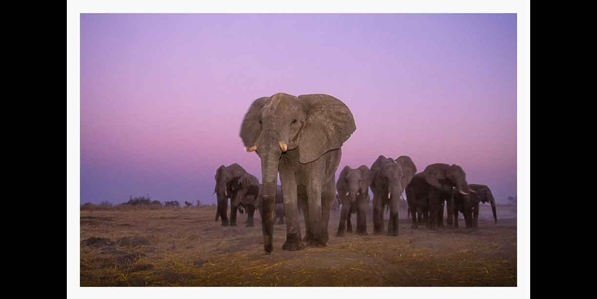 Elephant herd after sunset