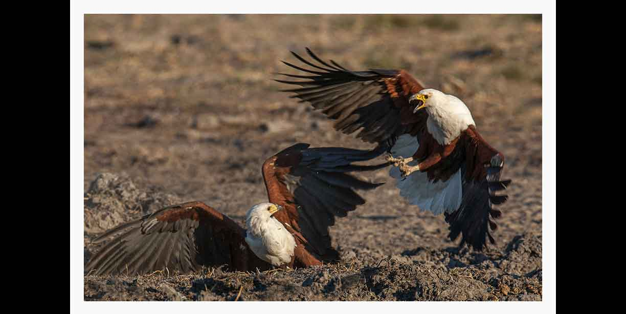 Fighting fish eagles