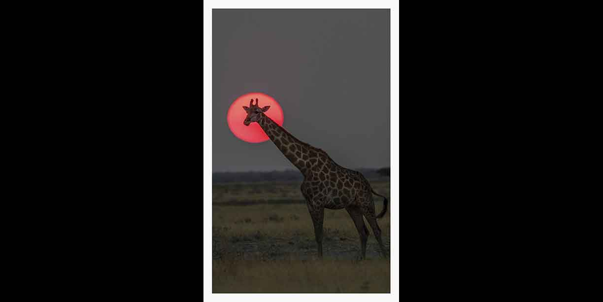Giraffe with the setting sun