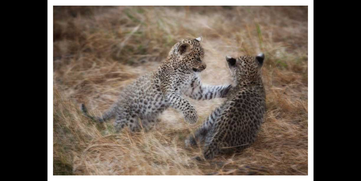 image of leopard cubs playing