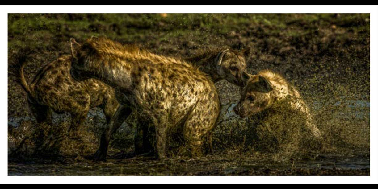 Hyena's fighting in water