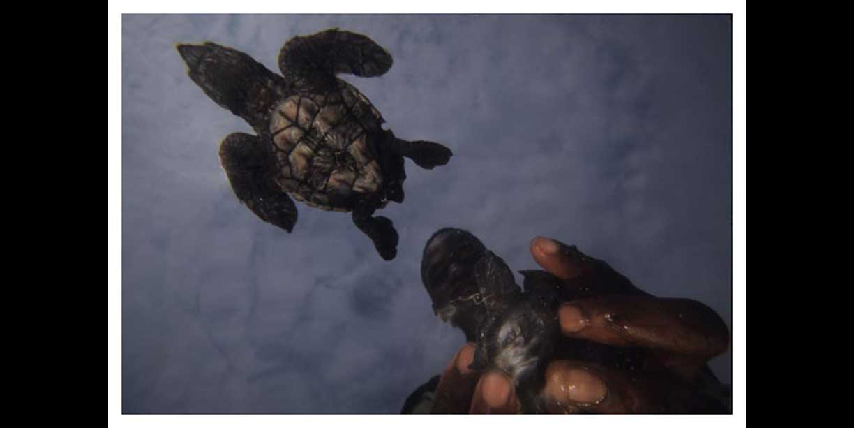 Turtle hatchlings being released back into the sea