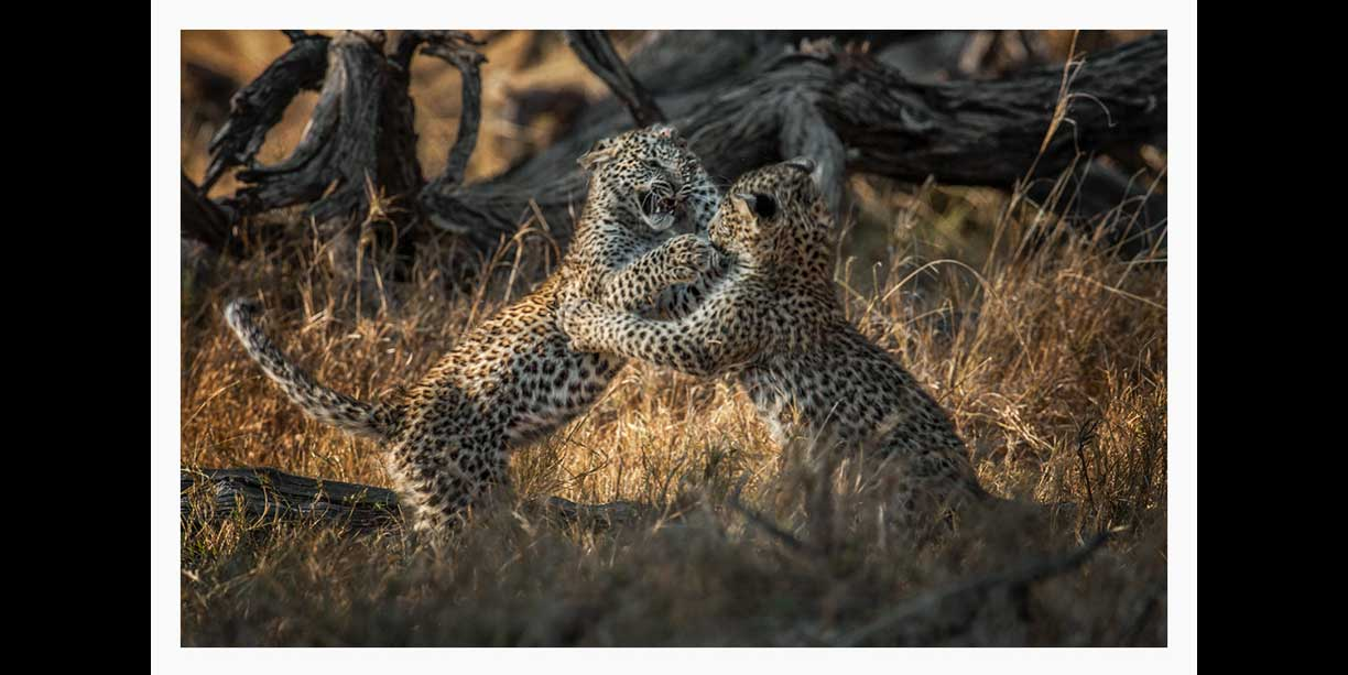 wildlife image of leopard cubs play fighting