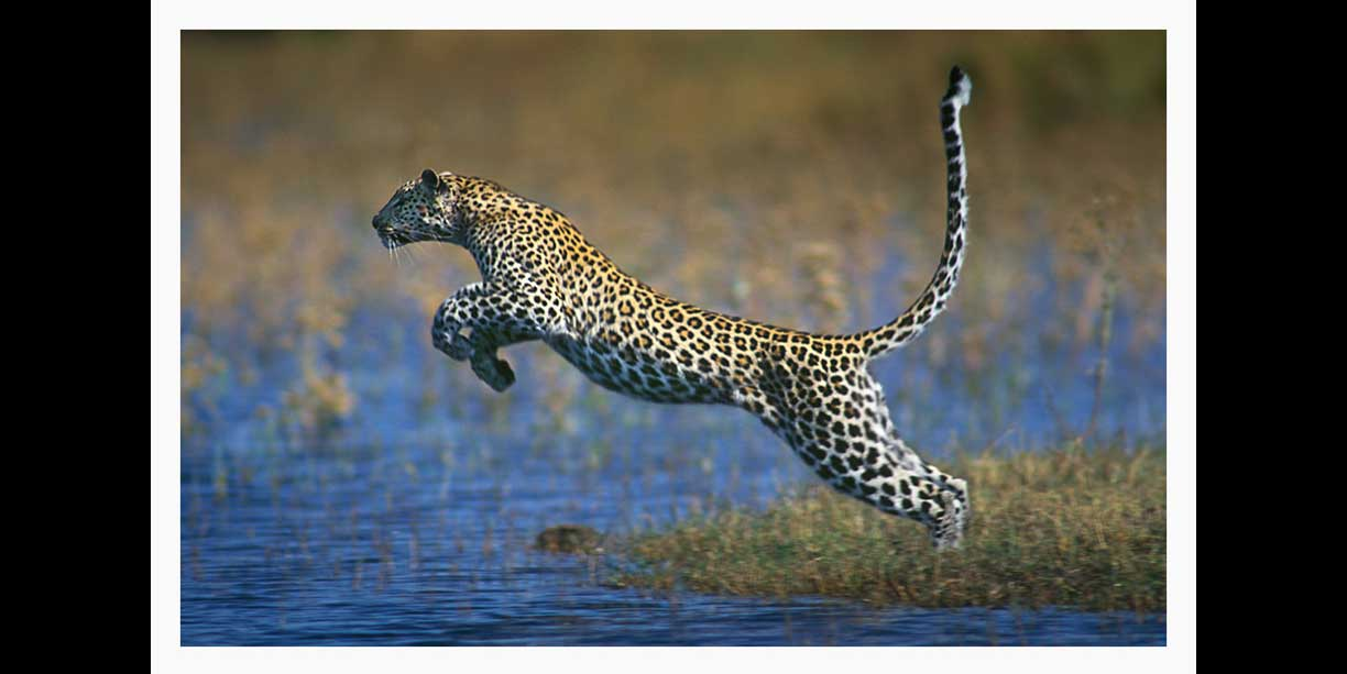 Leopard leaping