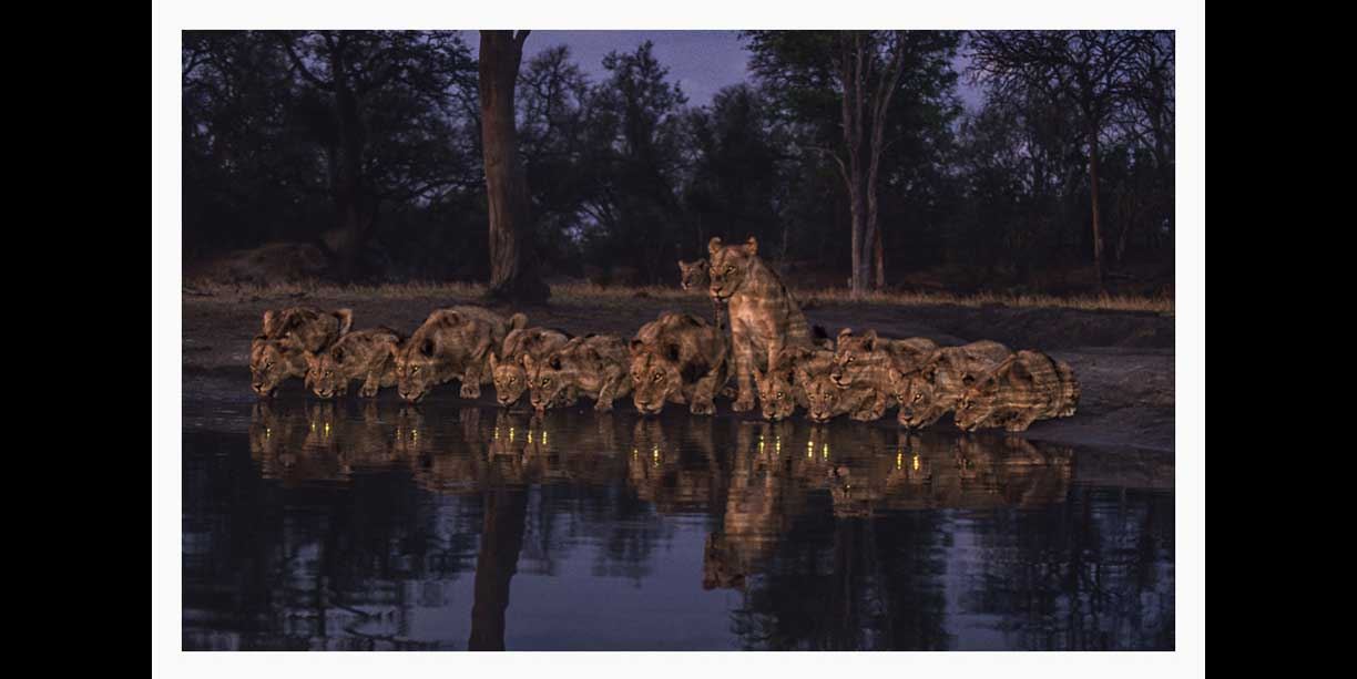 wildl;ife image of lion_pride_drinking_at_night