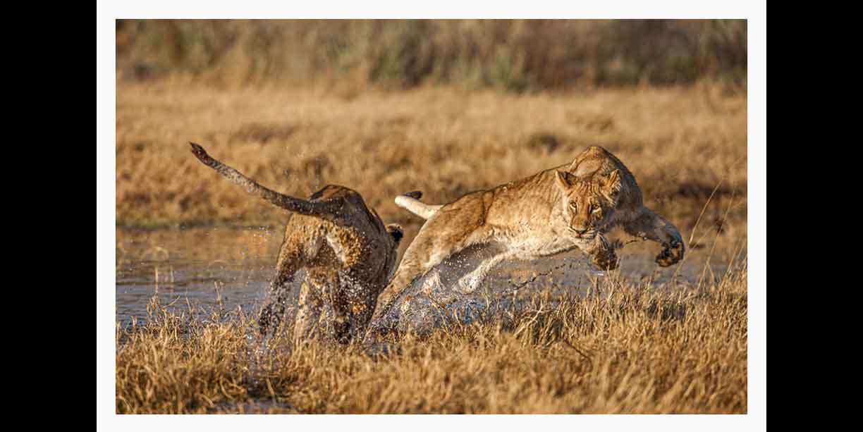image_of_lions_playing_tag_and_ambush_in_water