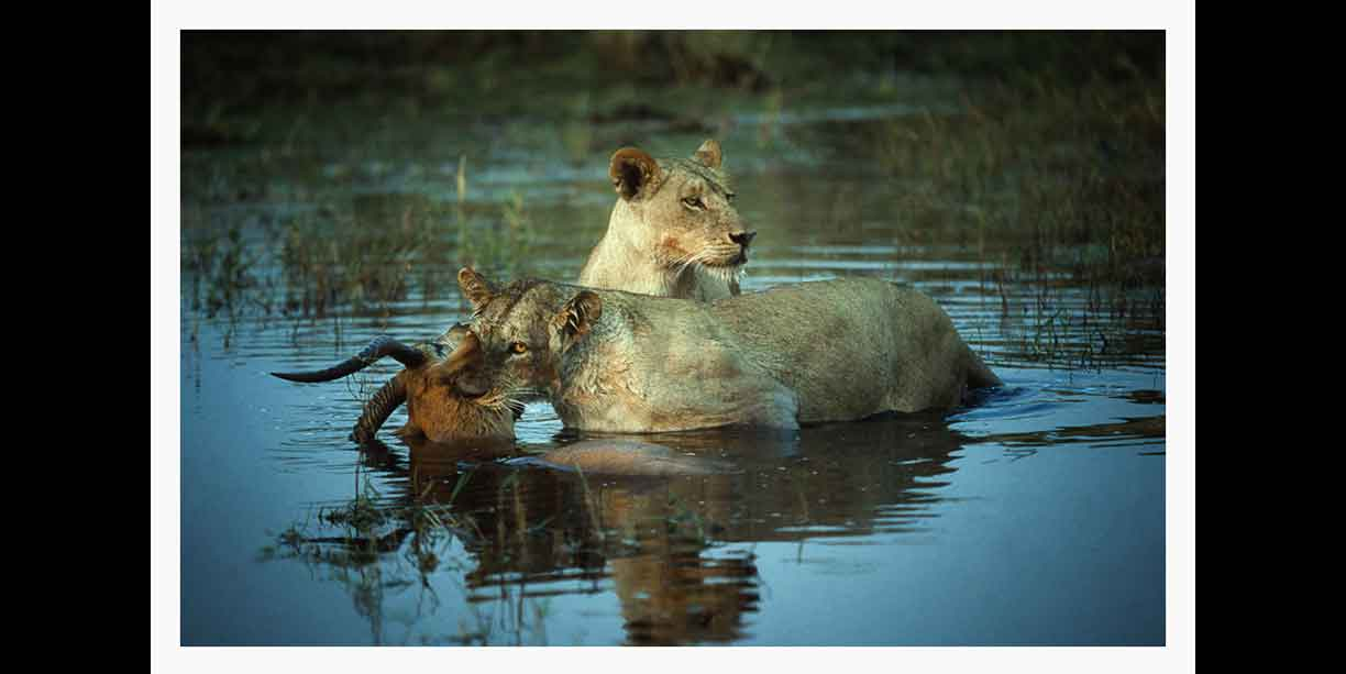 image_of_lions_sucessfully_hunting_lechwe_in_water_of_okavango