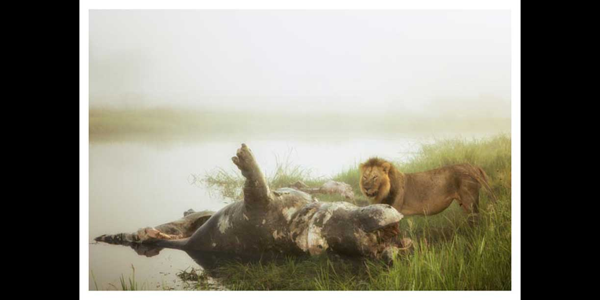 Male lion feeding on a hippo in mist
