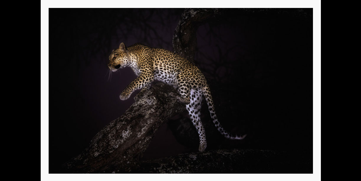night image of a leopard in a tree