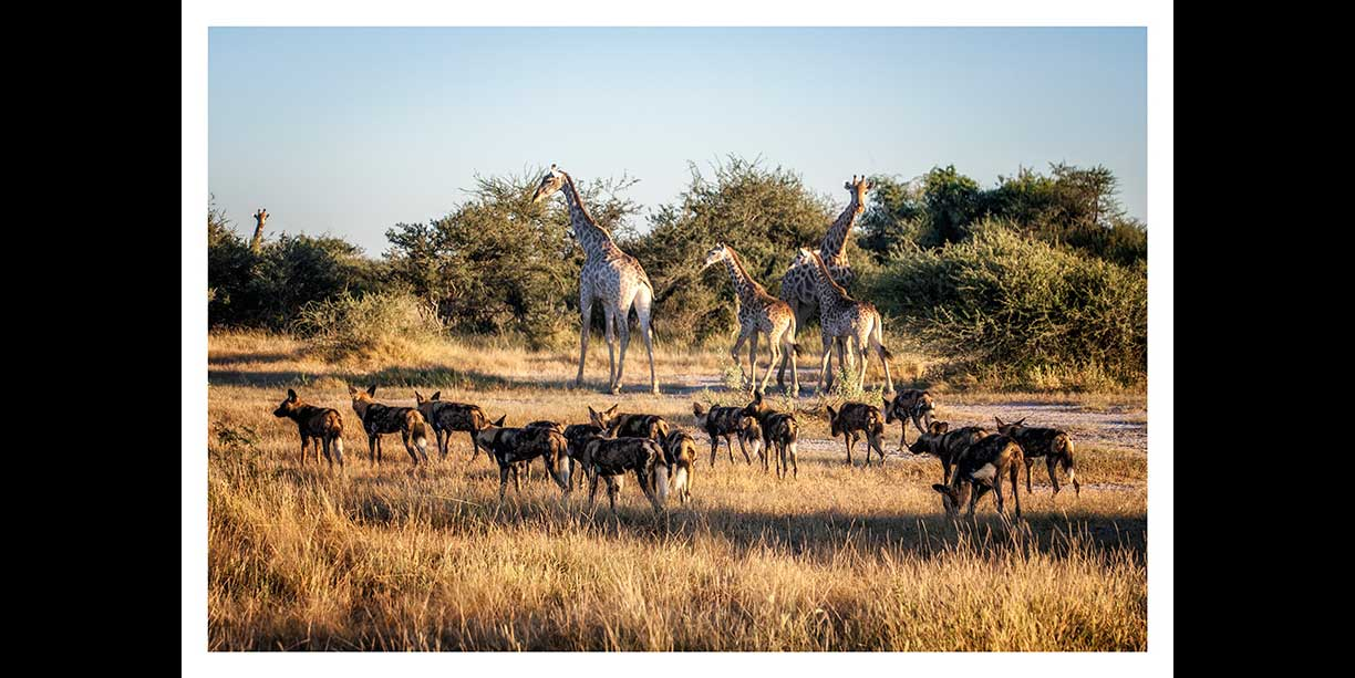 Wild dogs and giraffe
