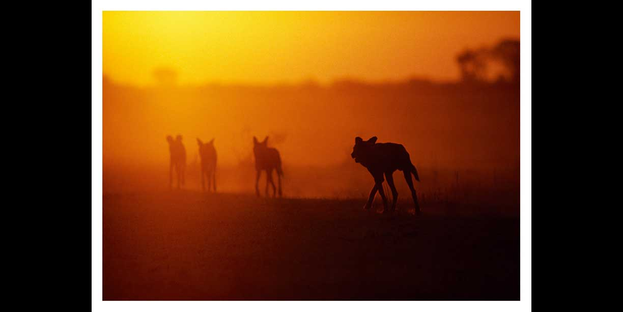 African wild dogs set off on a hunt at last light