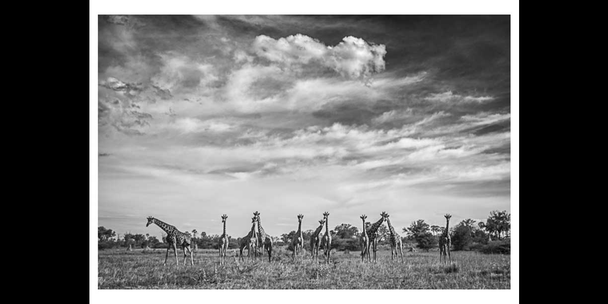 Herd of giraffe under an African sky