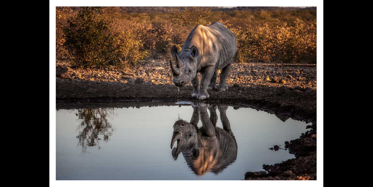 Print of a black rhino drinking