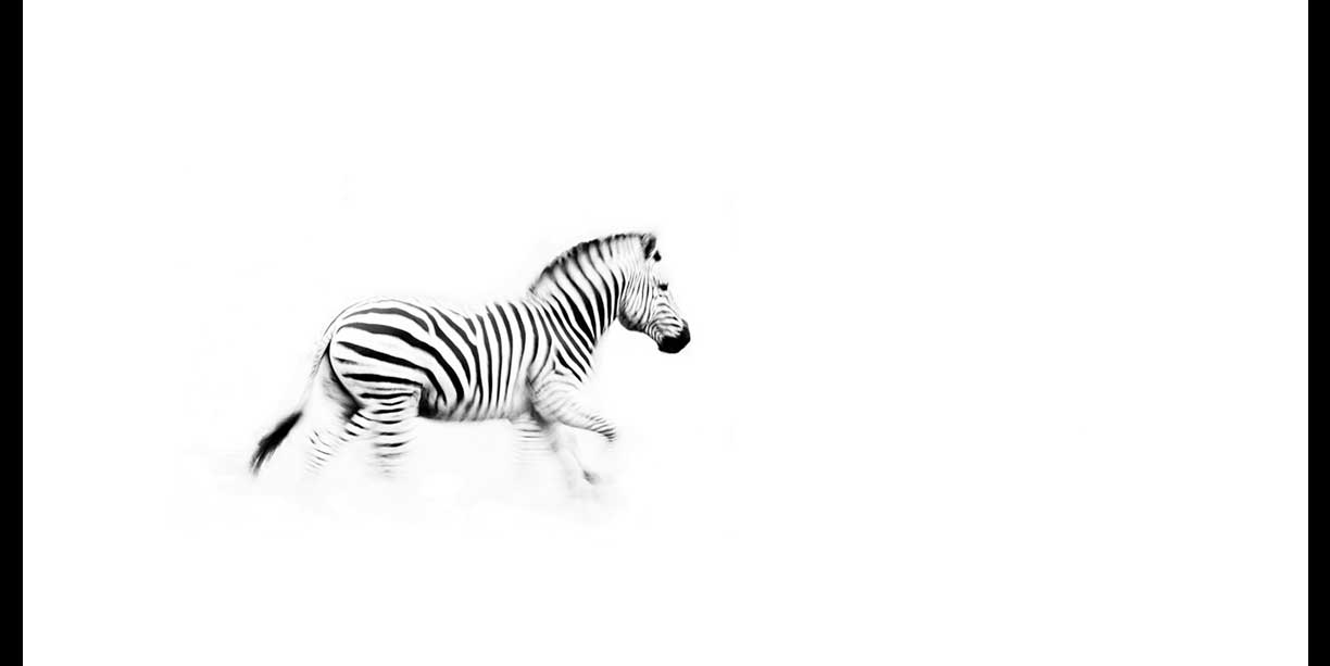 Black and white fine art image of a zebra on the run