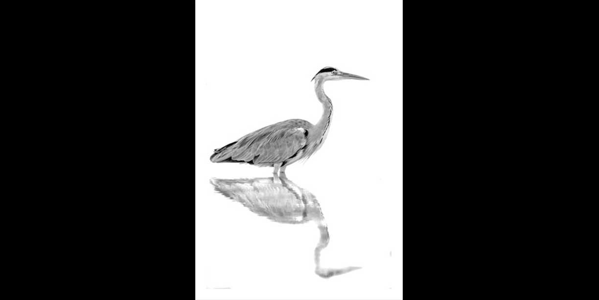 Black and white image of a grey heron in water