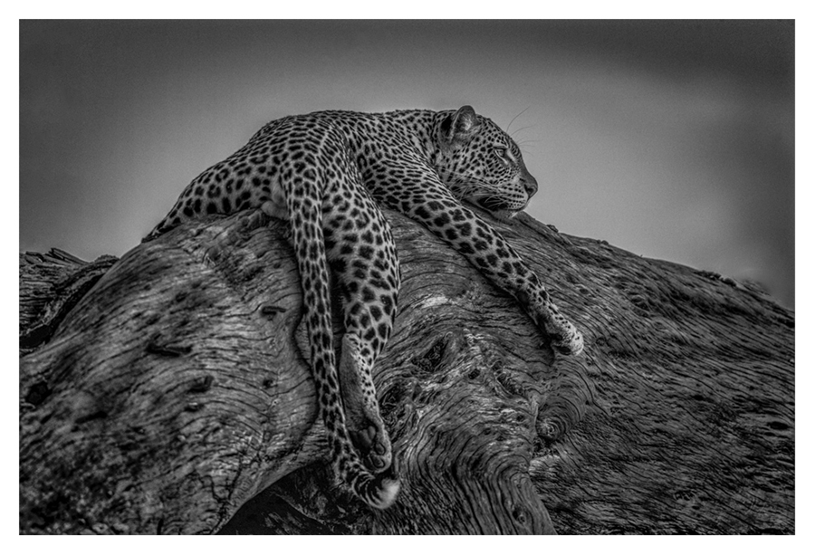 BW image of a leopard resting in a tree at last light