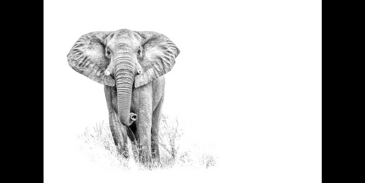 Elephant bull print in black and white