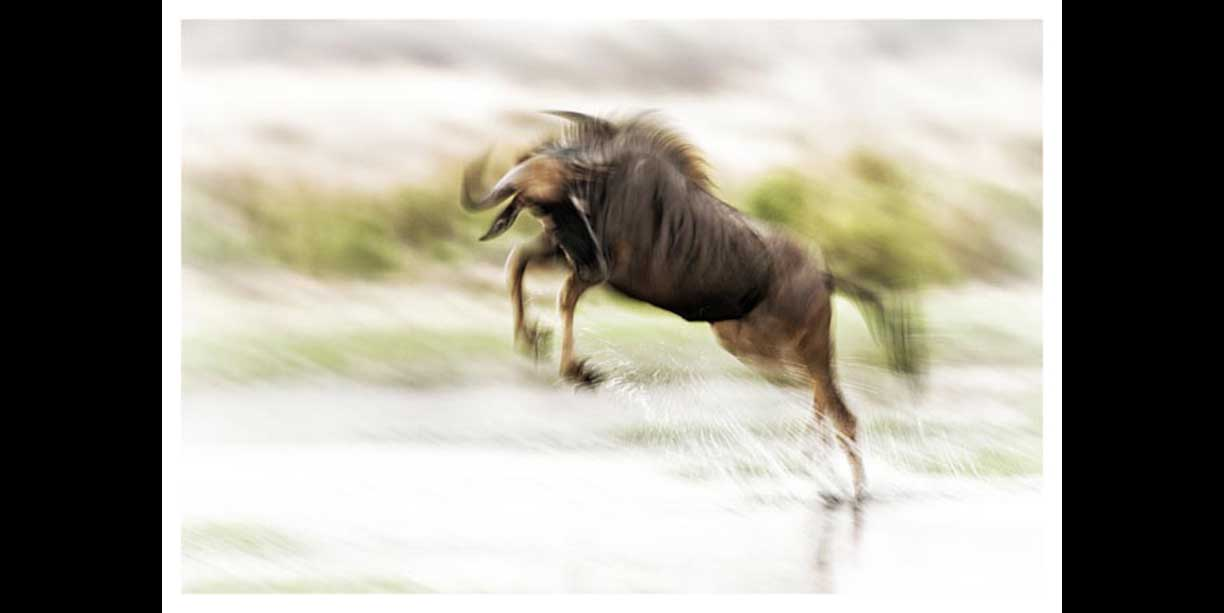 Wildebeest bounding through water