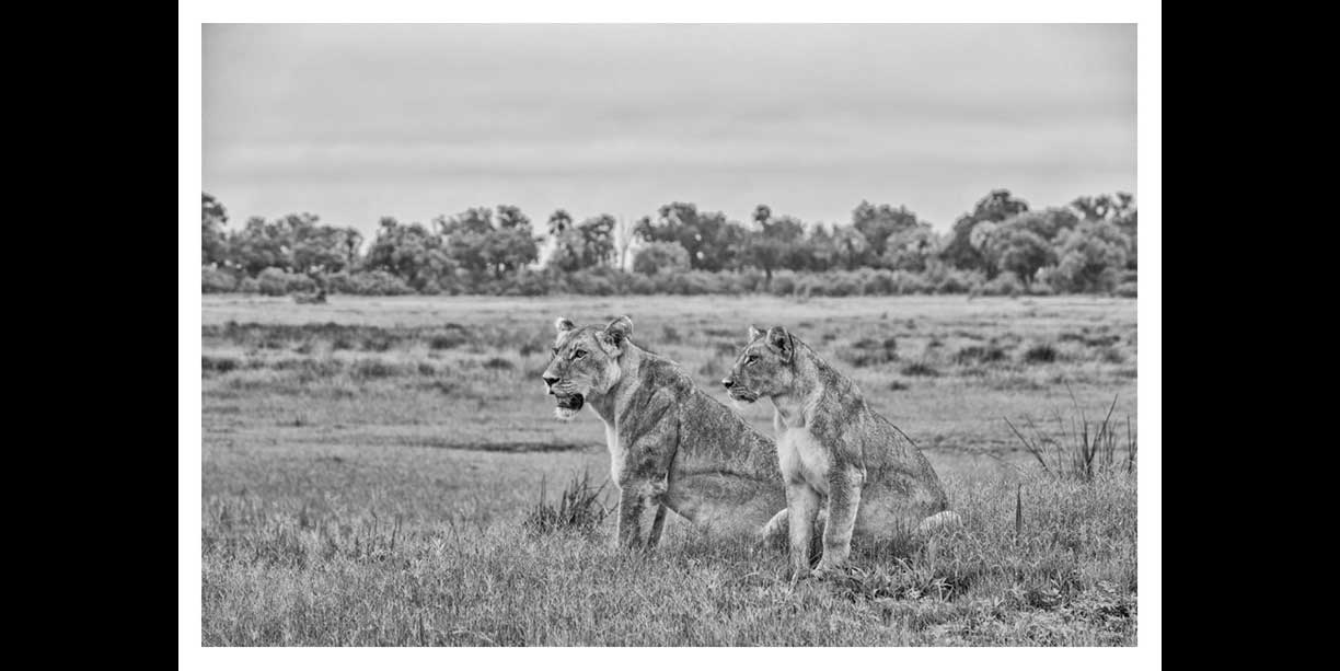 Lioness and her cub survey the floodplains in the Okavango Delta