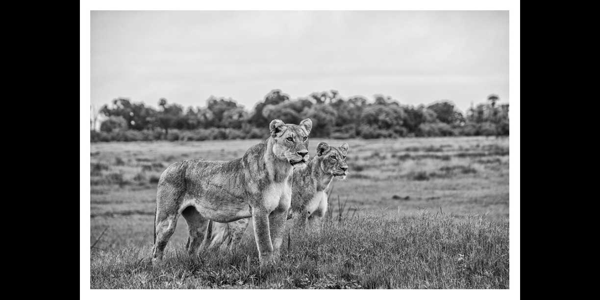BW image of a lioness and her cub surveying the floodplain