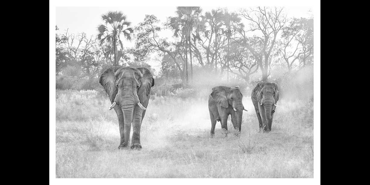 Small elephant herd kicking up dust