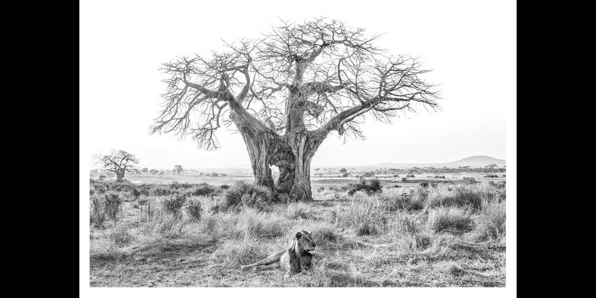Black and white photographic wildlife print of lion & baobab