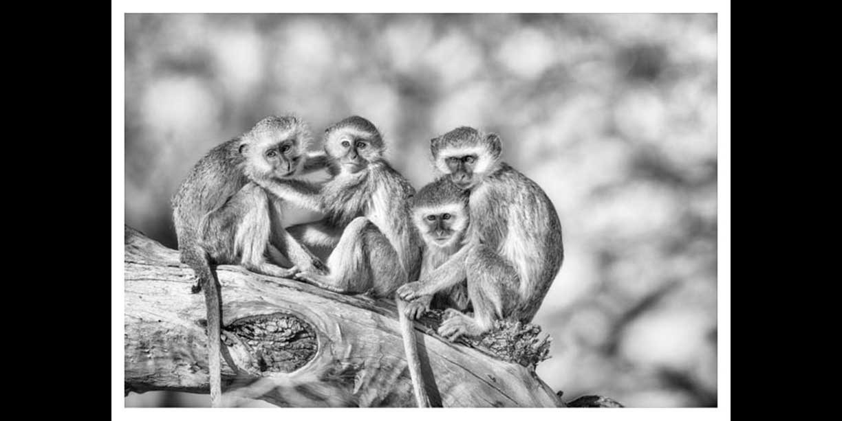 Wildlife print of vervet monkeys